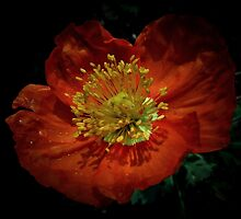 Poppy by BavosiPhotoArt