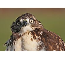 Derpy Hawk Photographic Print