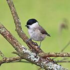 Marsh Tit by Dennis the Elder