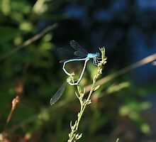 Damselfly Heart by bodragonfly
