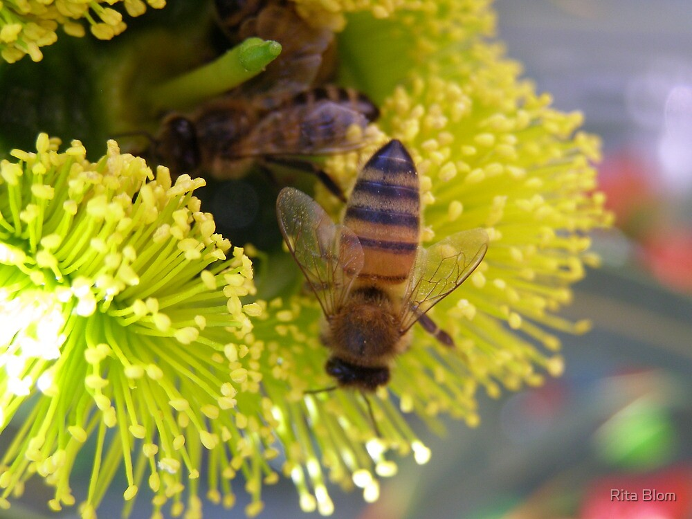 Foraging Bees in Red Capped Gum, (lilyarie) native. Sth. Aust. by Rita Blom
