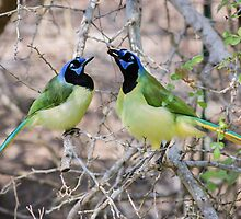 Loving Green Jays by Robert Kelch, M.D.