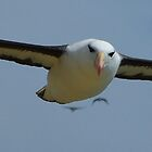 Black Browed Albatross by SwampDogPhoto
