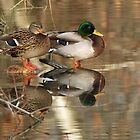 Mallards by Heather Wade