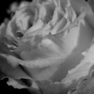 Rose In Black And White by Betty Northcutt