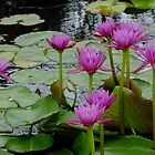 Pink Water Lilies by Gabrielle  Lees
