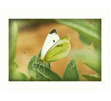 a cabbage moth on a sage leaf Art Print
