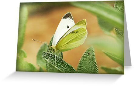 a cabbage moth on a sage leaf by Clare Colins