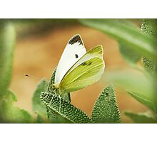 a cabbage moth on a sage leaf Photographic Print
