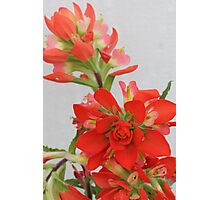 Indian Paint Brush Photographic Print