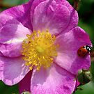 wild rose with a visitor by supergold