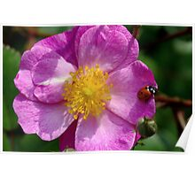 wild rose with a visitor Poster