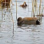 Gadwall by VoluntaryRanger