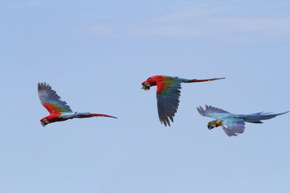 Macaw Flight by byronbackyard