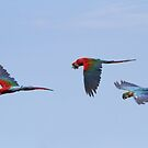 Macaw Flight by byronbackyard