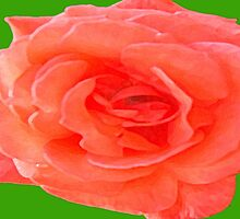 PINK ROSE by pjmurphy