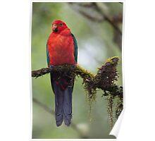 Damp King Parrot Poster