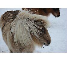 Shetland Pony, horse,snow Photographic Print