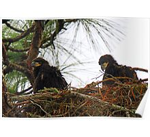 Anclote eaglets-3 weeks old and thriving ! Poster