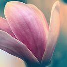 Magnolia 3 by Lynn Starner