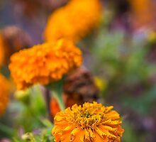 Marigold by fharoonz