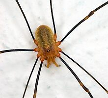 Harvestman by Kawka