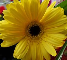 Lovely yellow holiday daisy flower photography. by naturematters