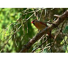 Mrs. Cardinal Photographic Print