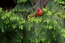 Papa Cardinal on the Lookout by Gene Walls