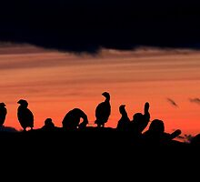 Cormorants roosting at sunset by Islandsimages