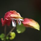 Flowering Shrimp Plant by Joy Watson