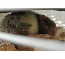 Sleeping Rat Photographic Print