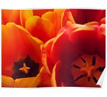 Vibrant Orange & Gold Tulips Poster