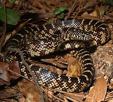 Florida Kingsnake  by Michael L Dye