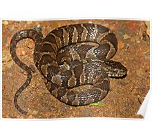 Midland Water Snake  Poster