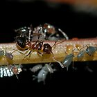 Ants and Aphids by Michael L Dye