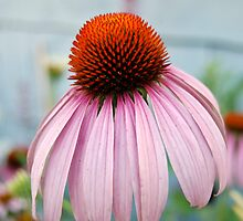Echinacea by d1373l