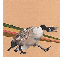 Canadian Goose Photographic Print