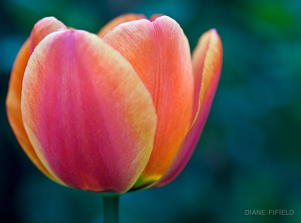 Tulip Colours  by DIANE  FIFIELD