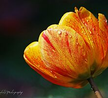 Rain Drops on Tulip by DuncanPenfold