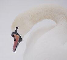 A magnificent white bird by matheorsi