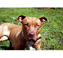 Pit-bull Dog Photographic Print