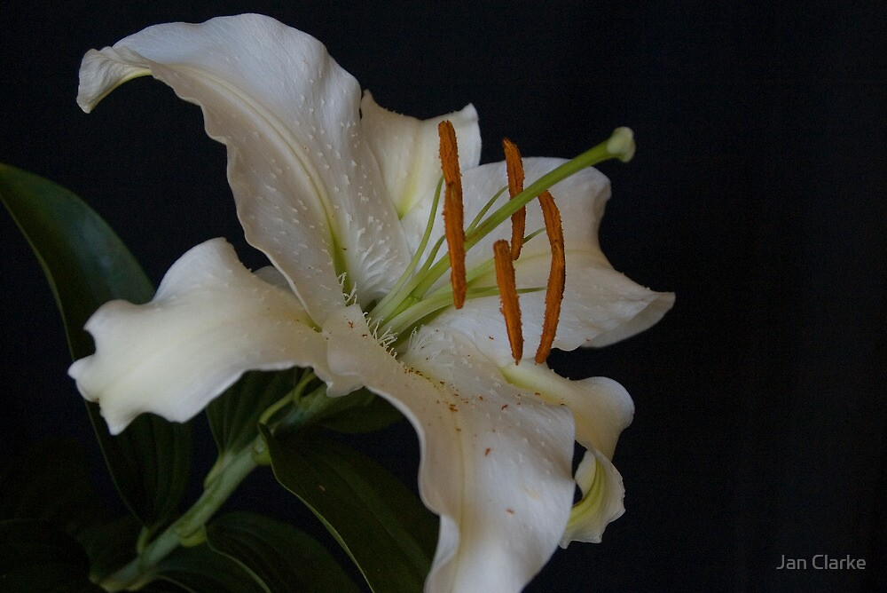 Siberia (Asiatic Lily) by Jan Clarke