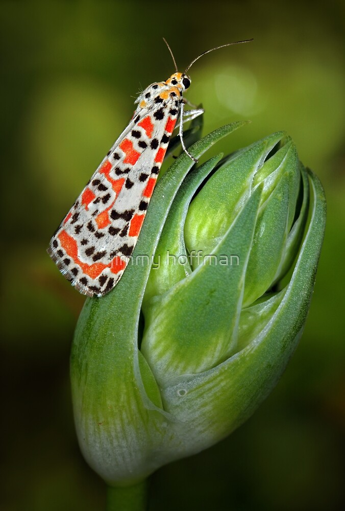 Crimson Speckled Moth by jimmy hoffman