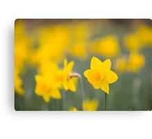 Daffodil yellow Canvas Print