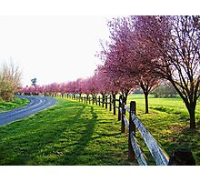Blooming Trees Along The Road Photographic Print