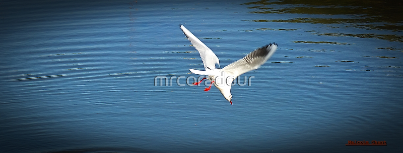 """ Kamikaze Seagull"" by Malcolm Chant"