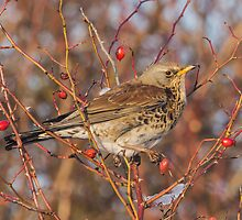 Fieldfare by MikeSquires
