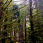 La Push Forest by bron stadheim