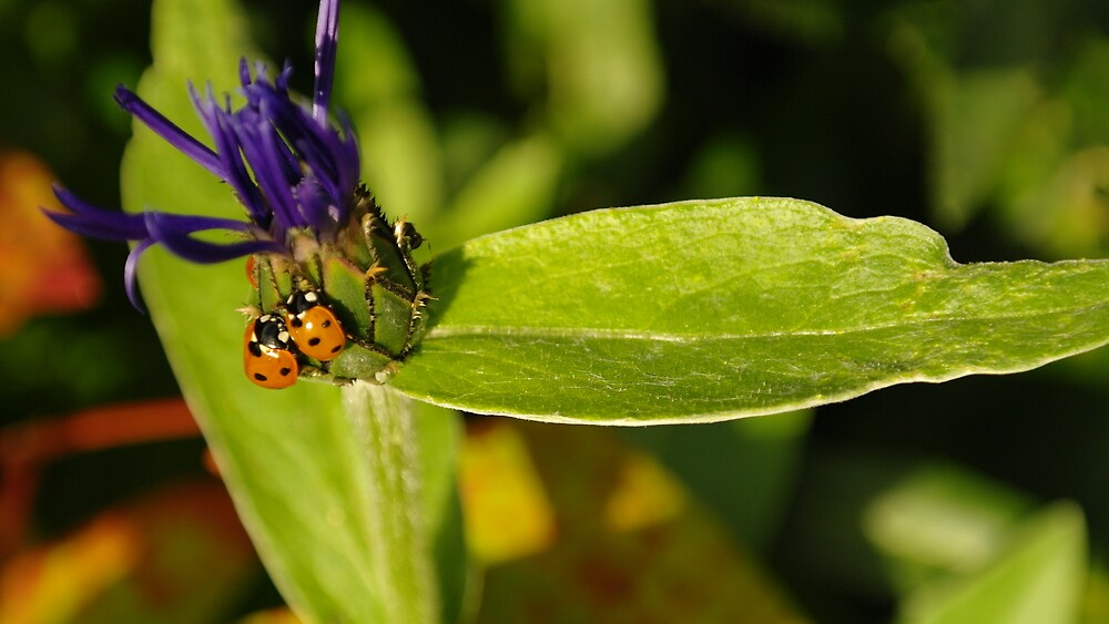 Ladybird Couple by Rob Page